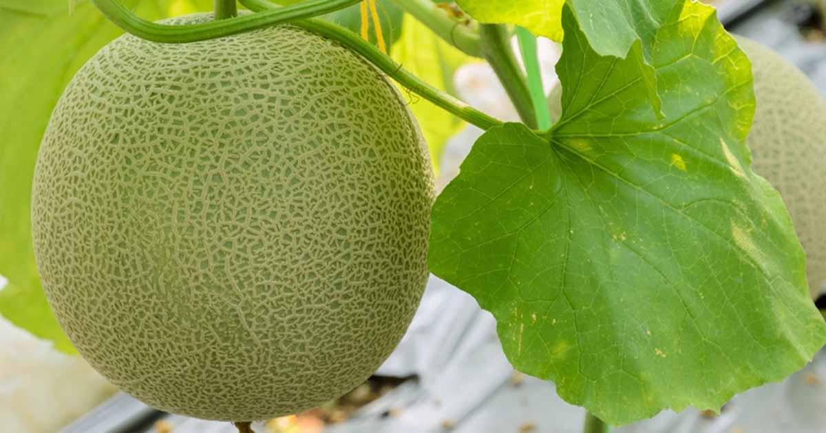 Muskmelon fruit images
