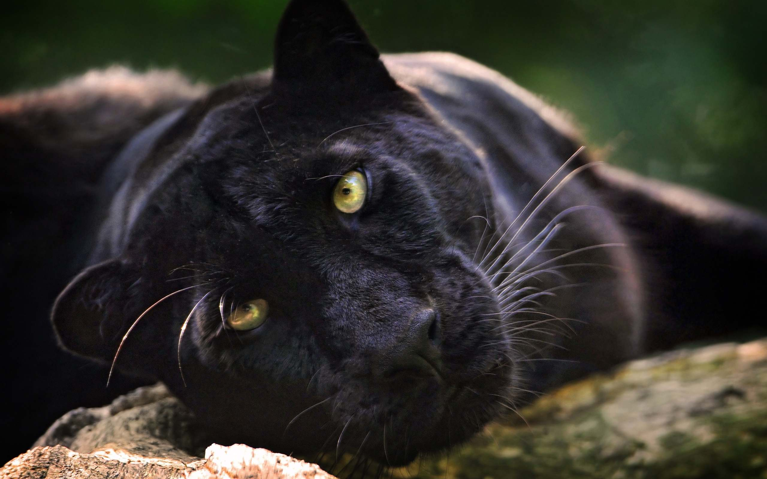 Panther animal wallpaper cute face