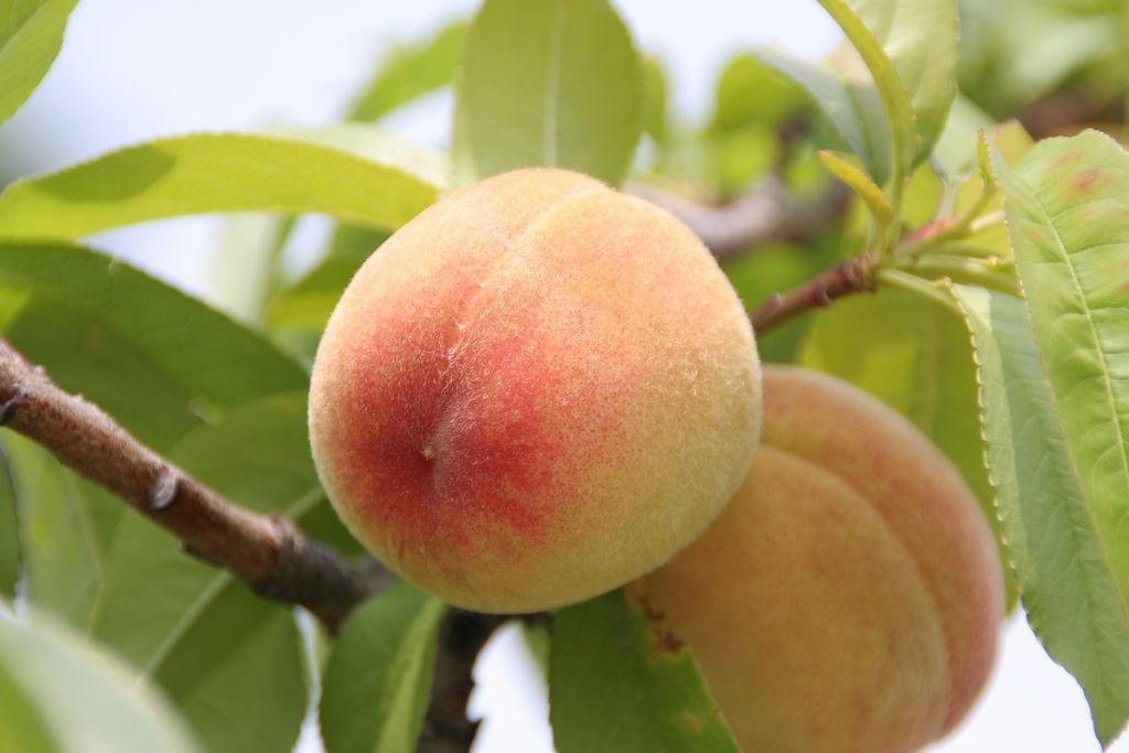 Peach tree with fruit photos