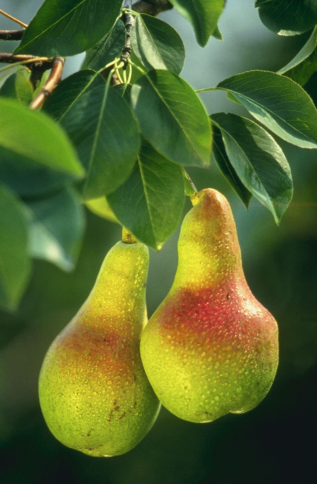 Pear fruit pictures