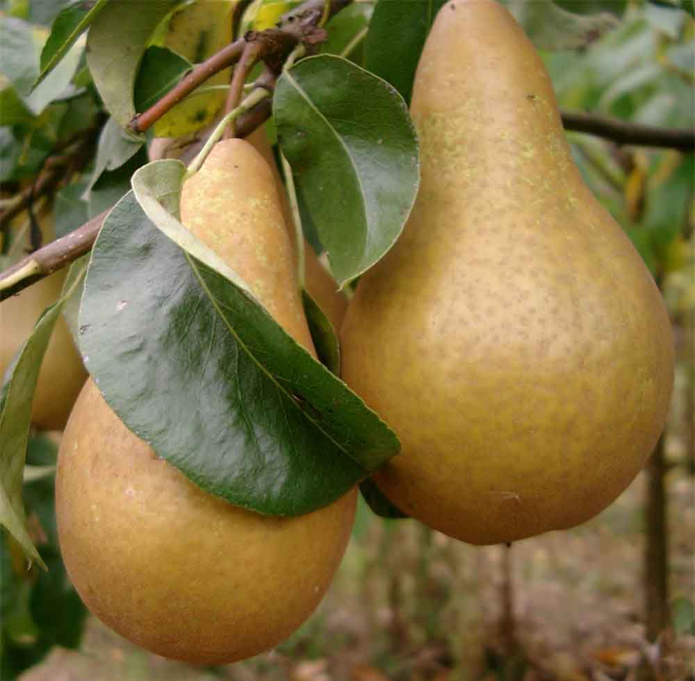 Pear tree with fruit pics