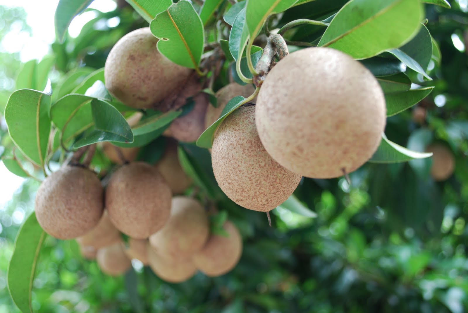 Sapodilla tree with fruits pictures