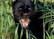 panther animal pictures