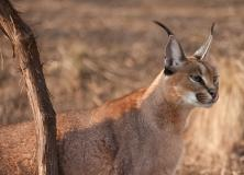 caracal animal pictures