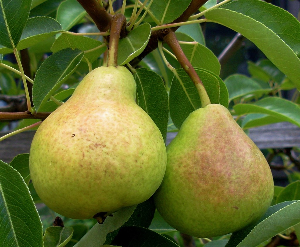 Two pear fruit photos