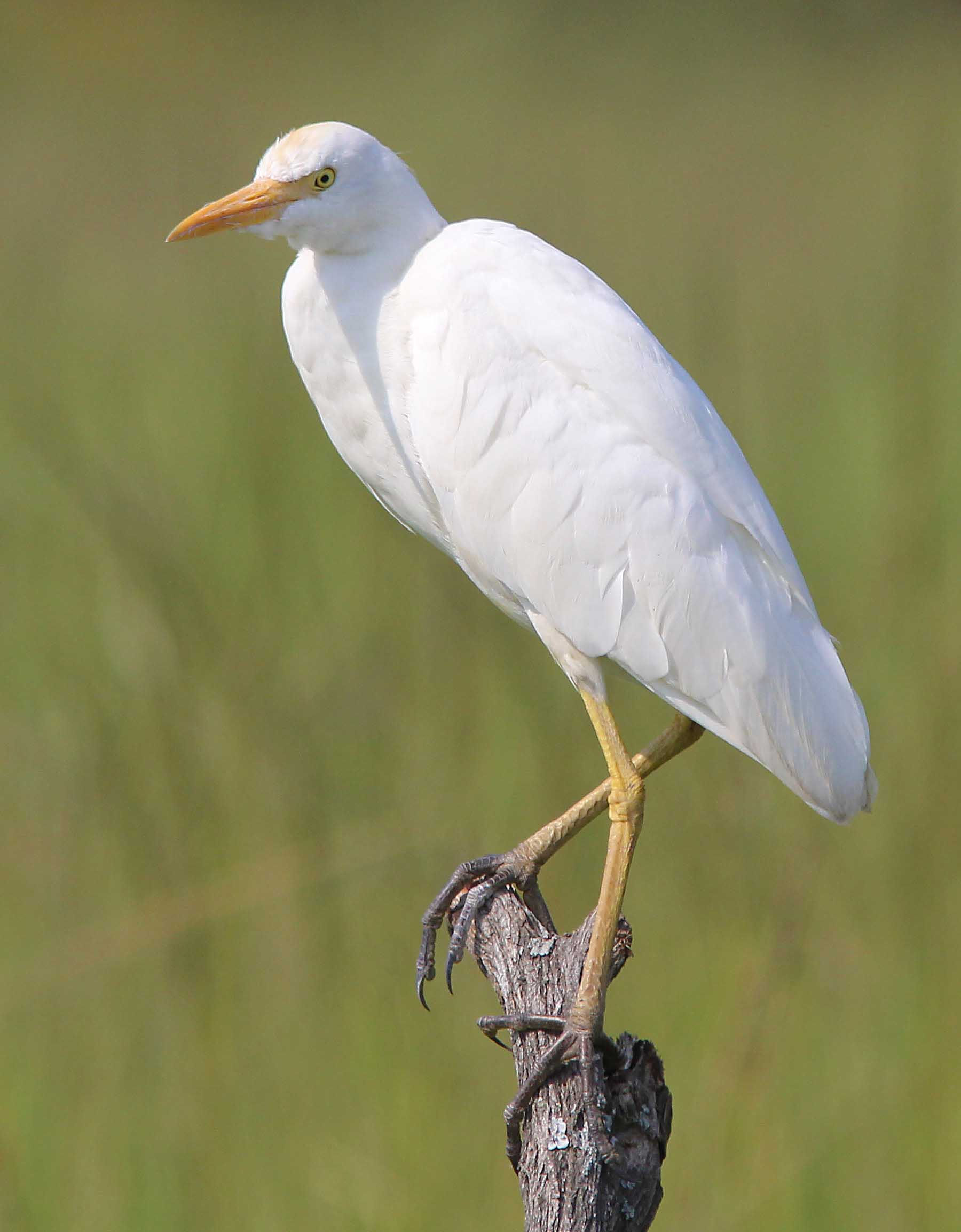 Cattle egret birds photos