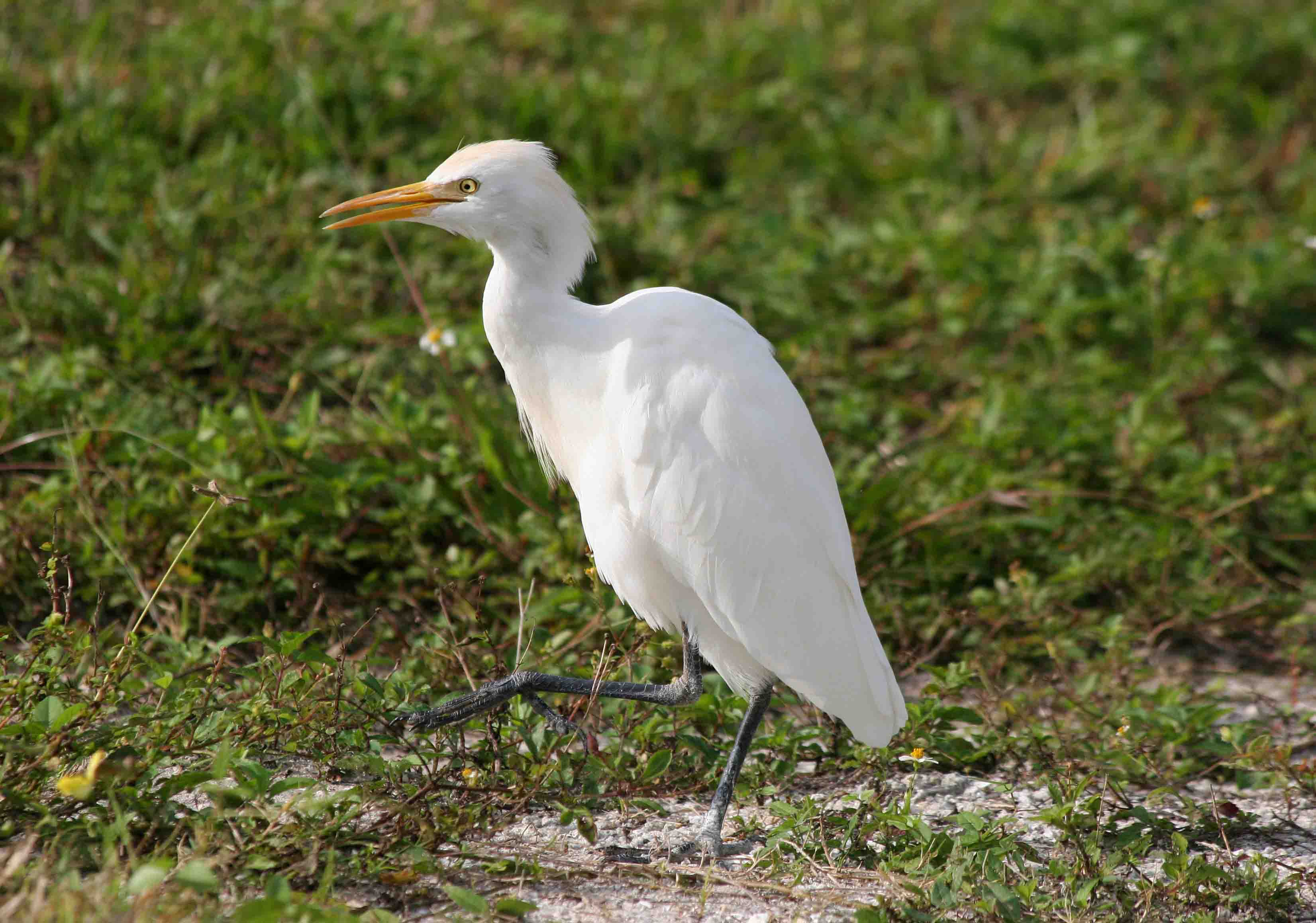 Cattle egret birds pictures