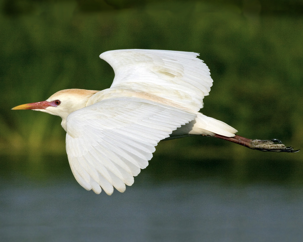 Cattle egret flying photos