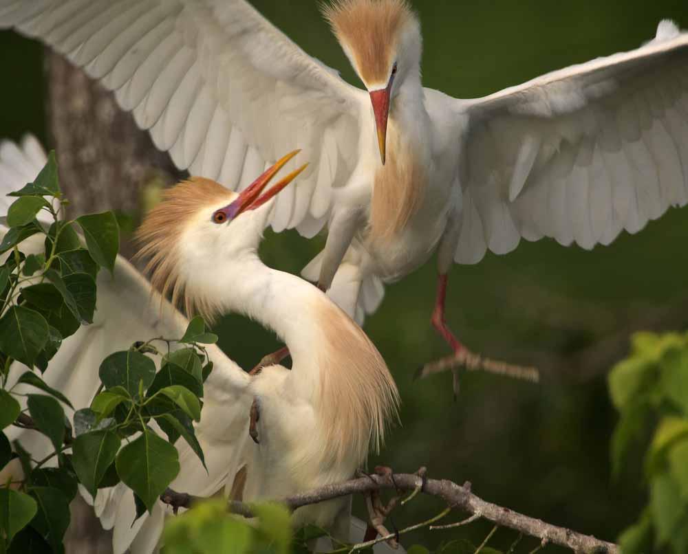 Cattle egret pair photos