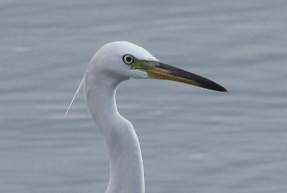 Chinese egret face photos