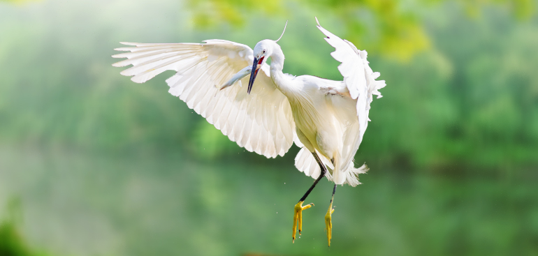 Chinese egret fly desktop wallpapers