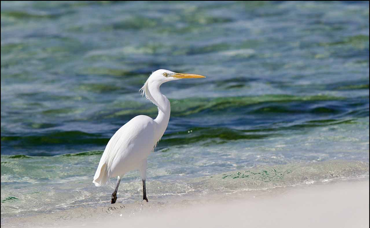 Chinese egret in water photos