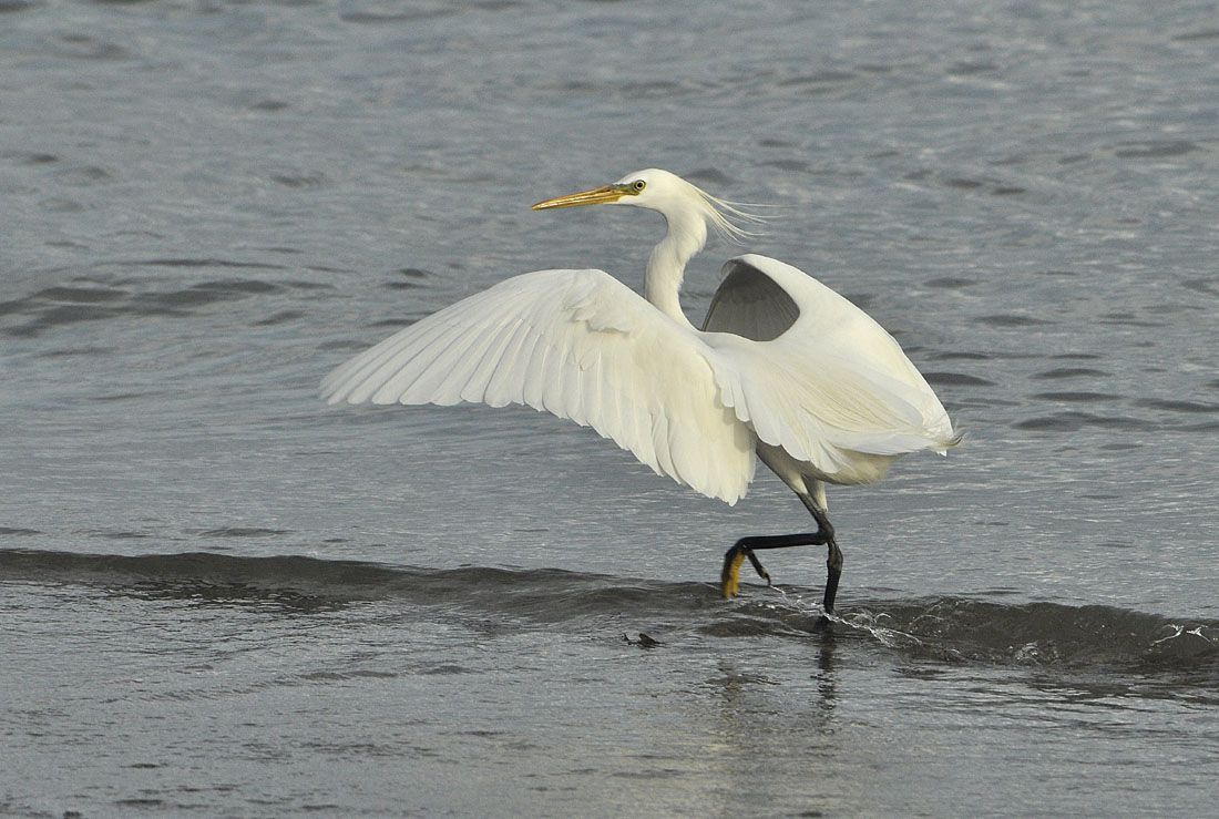 Chinese egret pictures