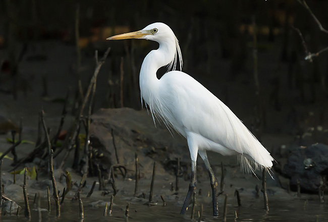 Chinese egret wallpapers