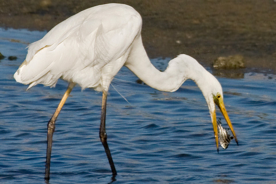 Eastern great egret eating photos