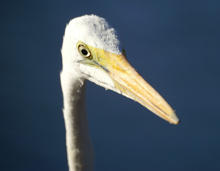 Eastern great egret face photos