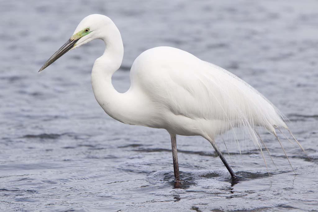 Eastern great egret gallery
