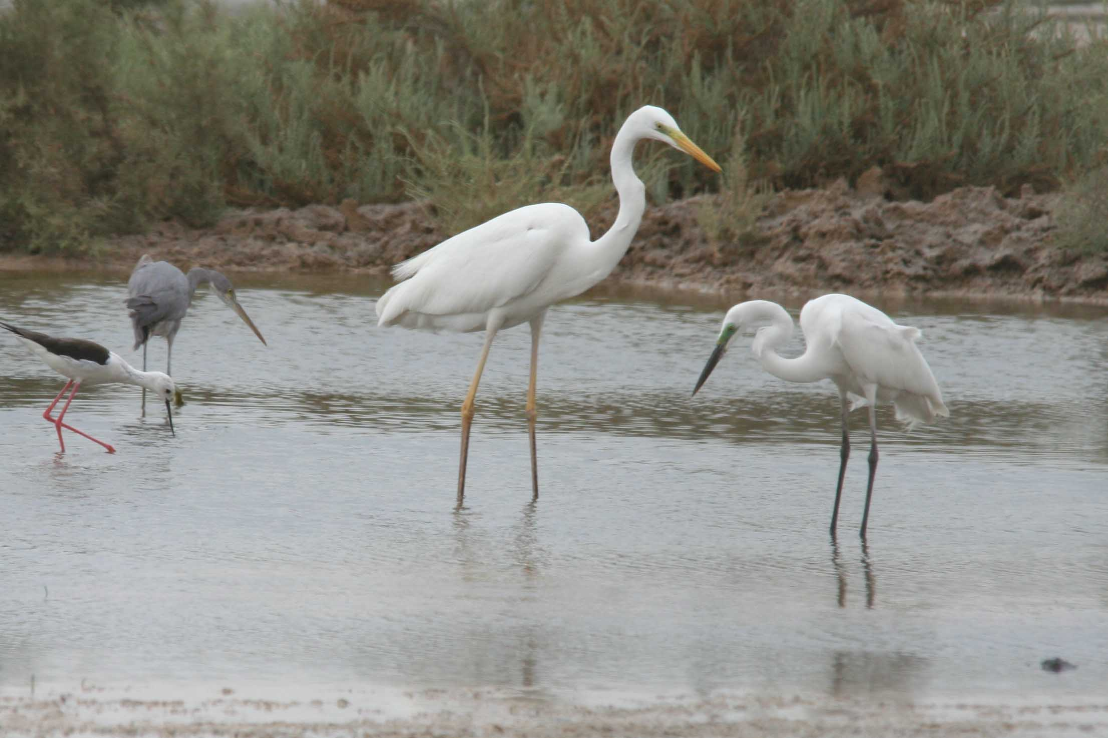 Eastern great egret male and female photos
