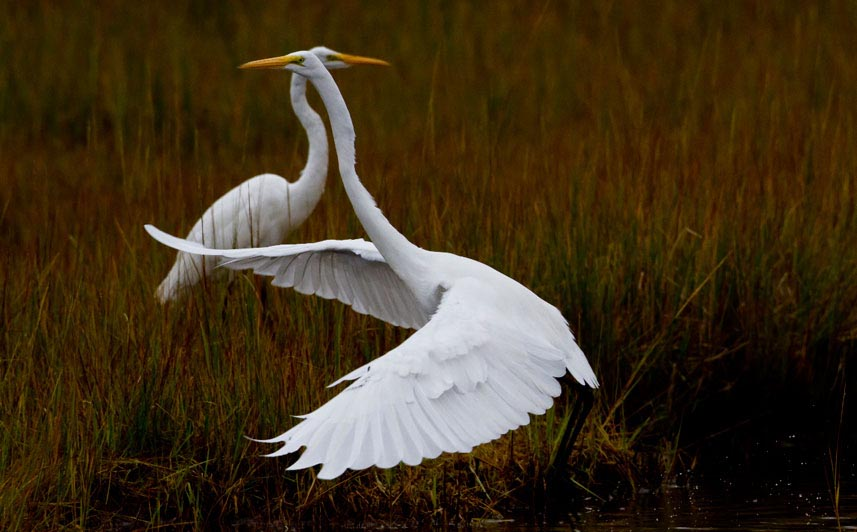 Eastern great egret pair photos