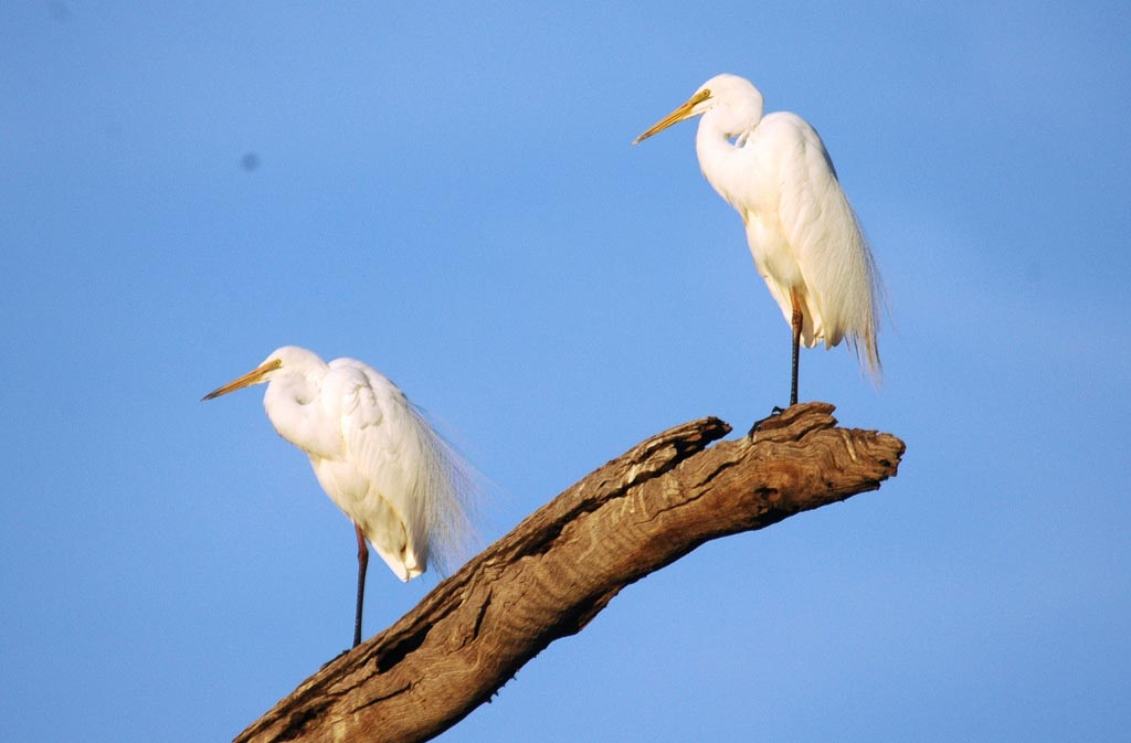 Eastern great egret pictures