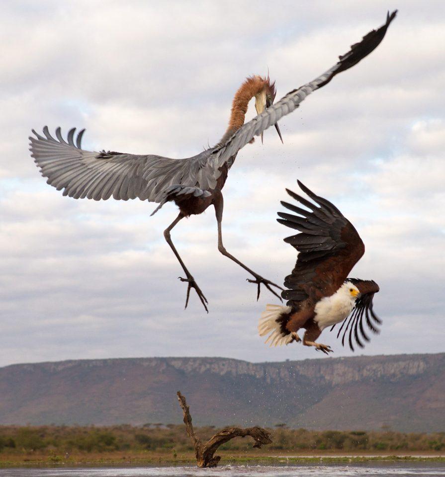 Goliath heron fight photos