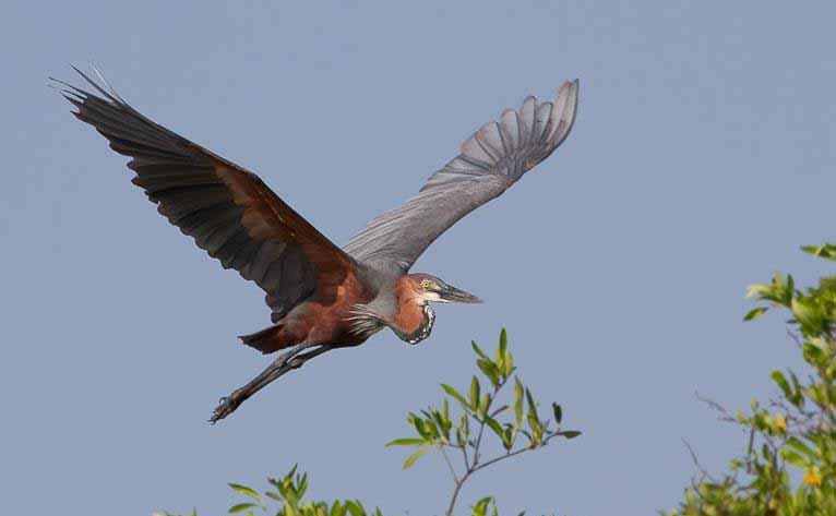 Goliath heron flight photos