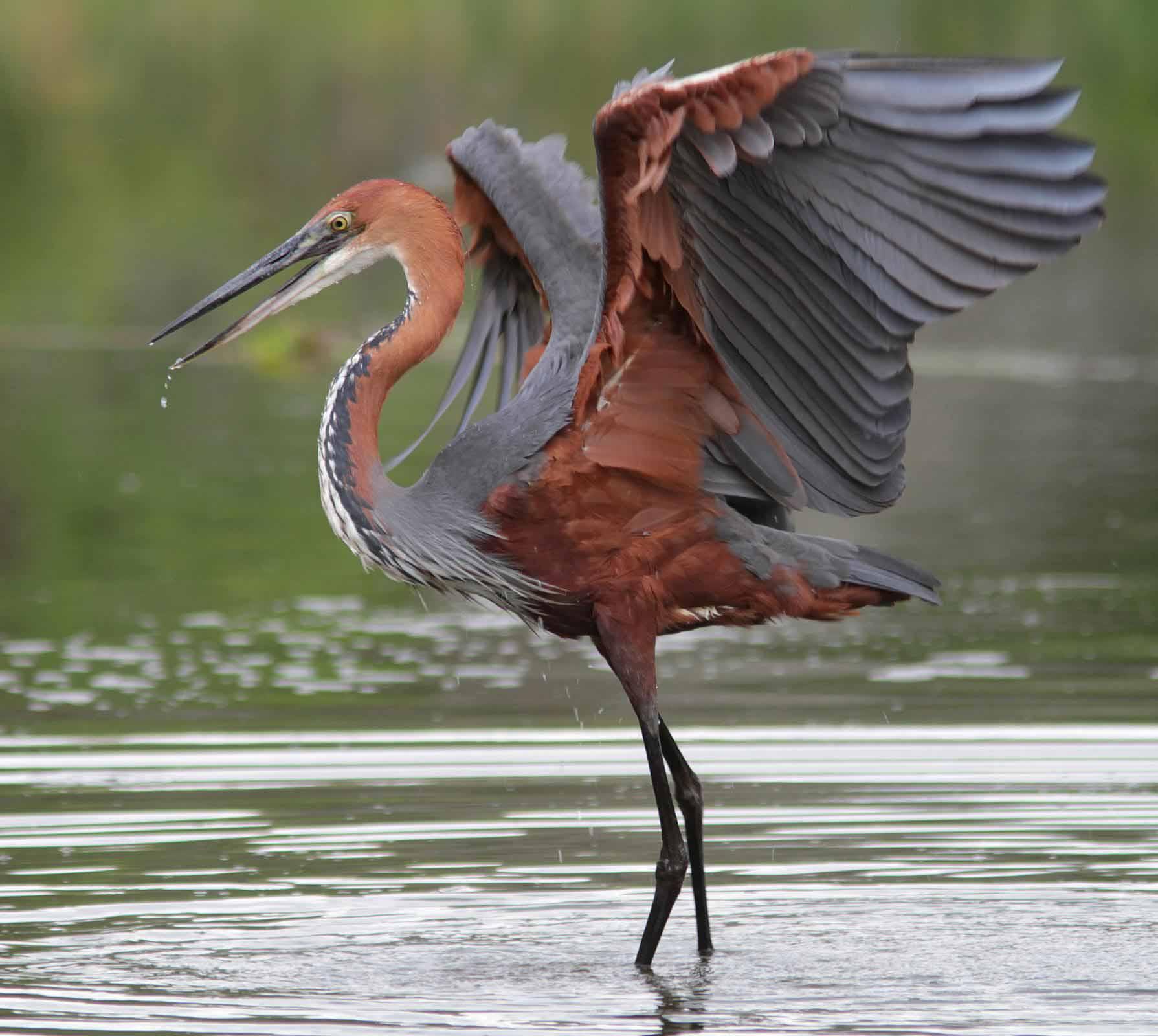 Goliath heron flying photos
