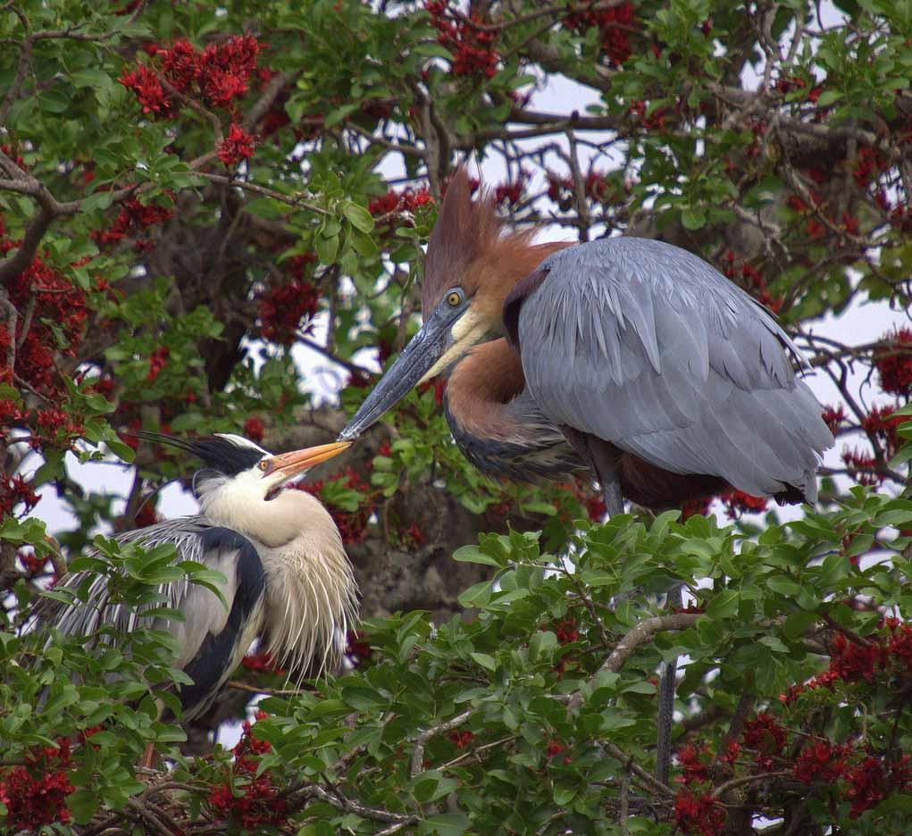 Goliath heron pair photos