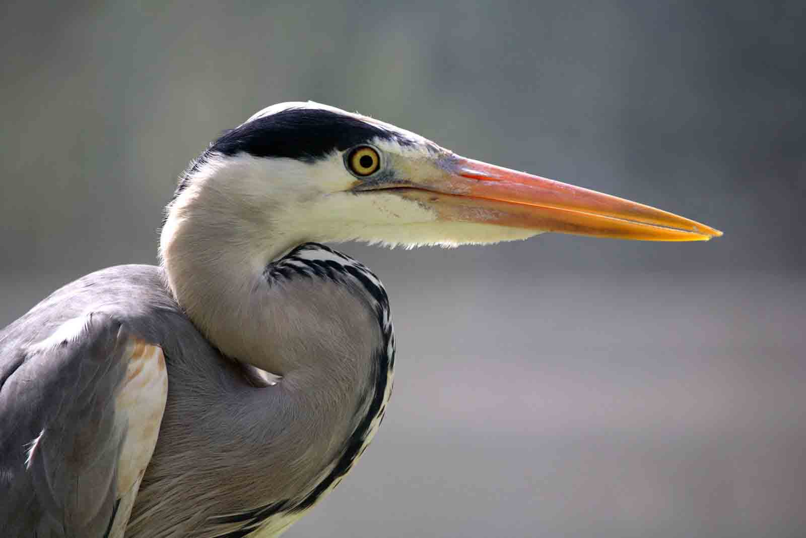 Grey heron face pictures