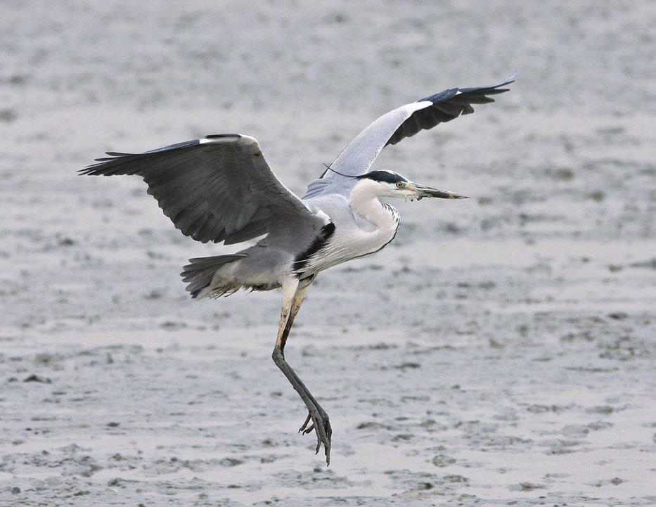 Grey heron flight photos