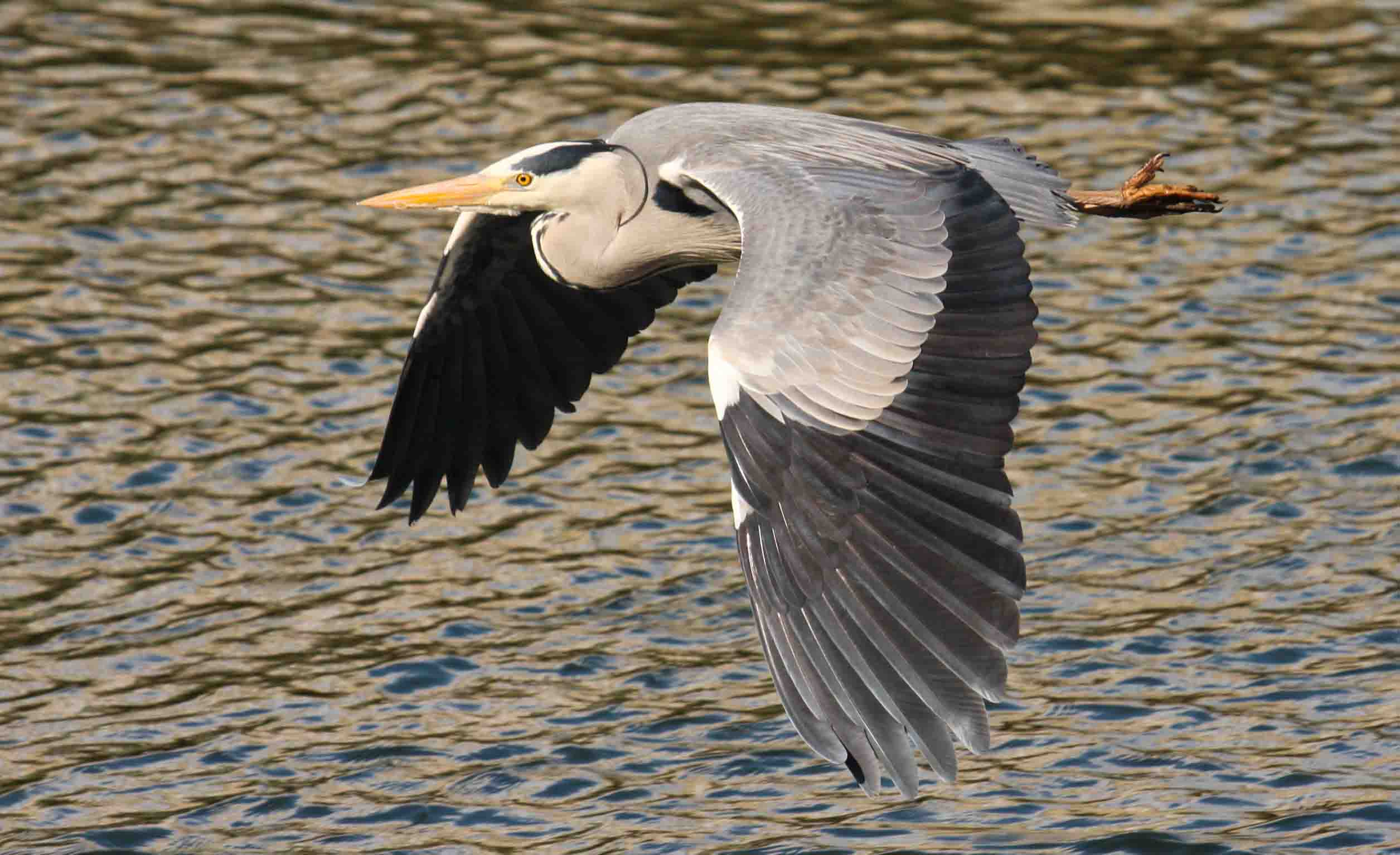 Grey heron flying photos