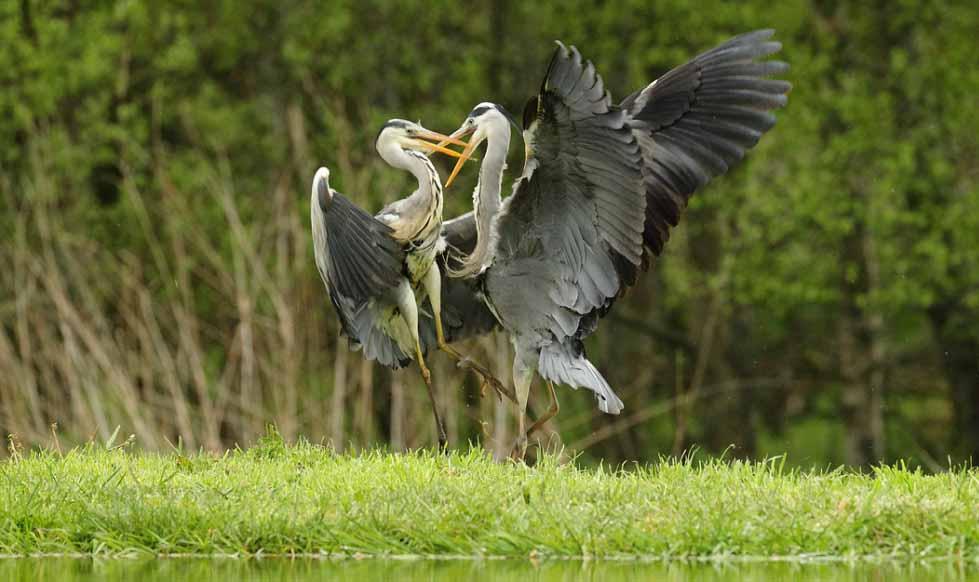 Grey heron pair photos