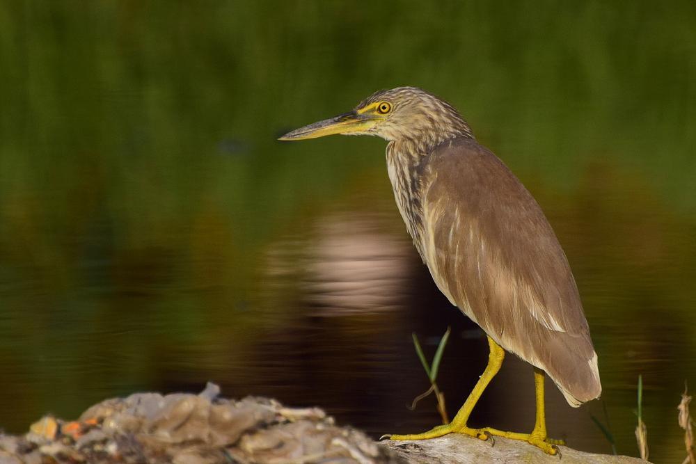 Indian pond heron birds wallpapers