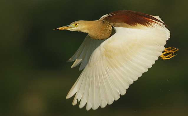 Indian pond heron flying photos