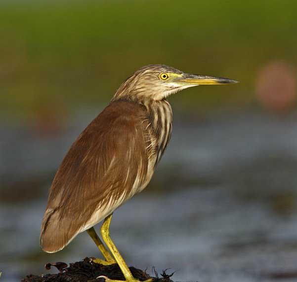 Indian pond heron gallery