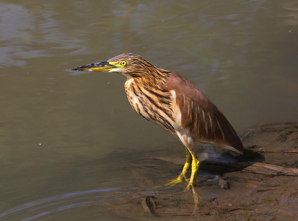 Indian pond heron in water photos