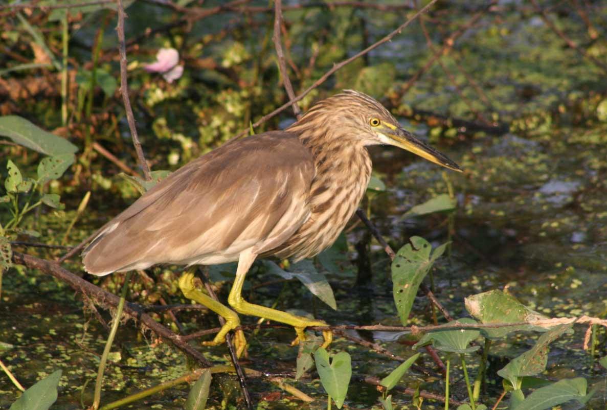 Indian pond heron land photos