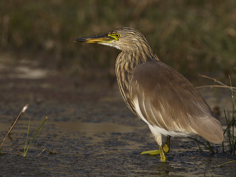 Indian pond heron pictures