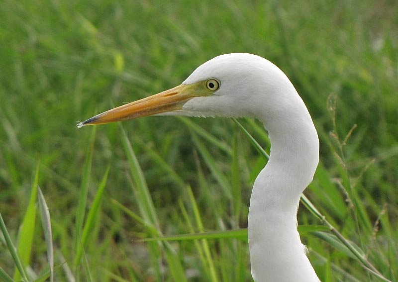 Intermediate egret face wallpapers
