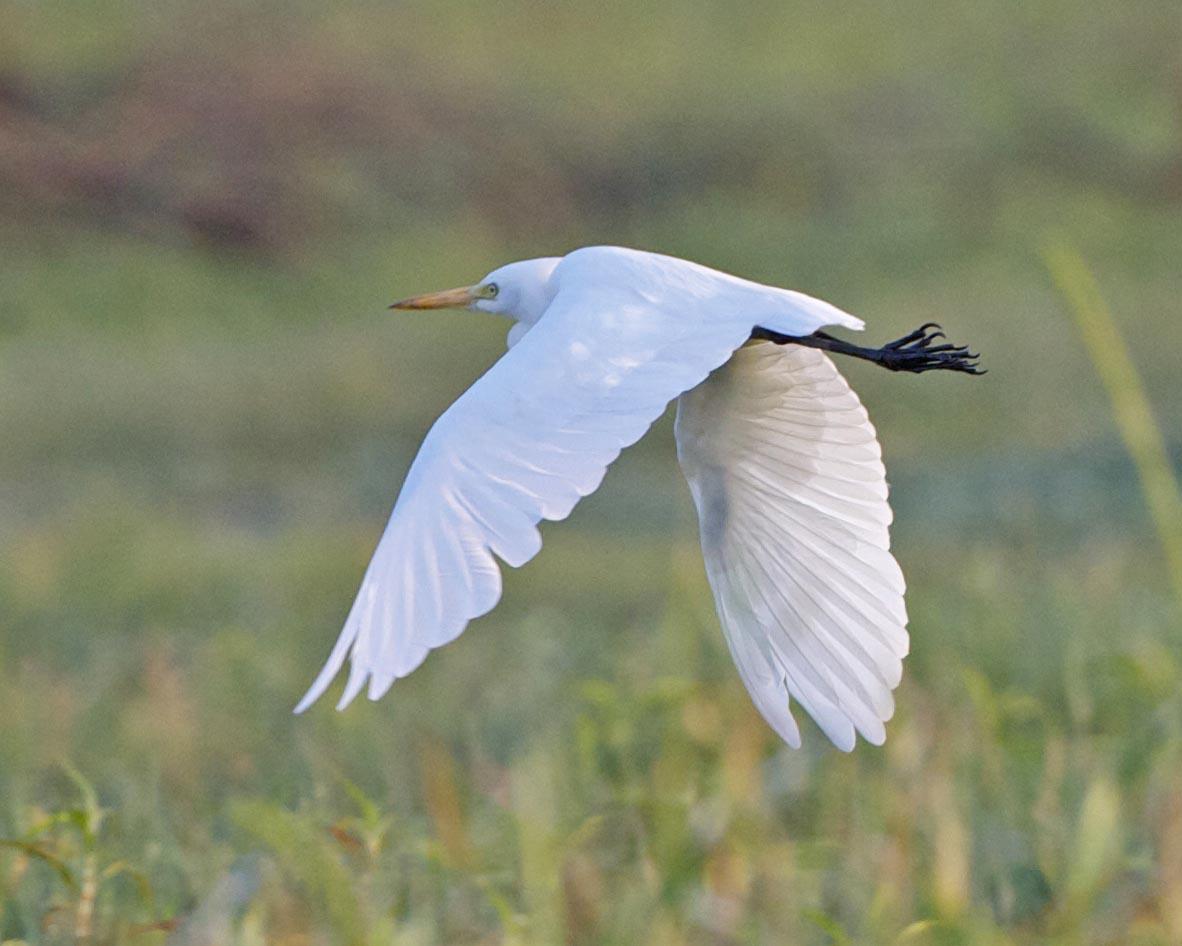 Intermediate egret flying pictures