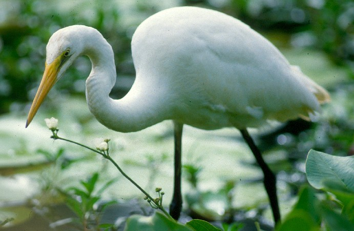 Intermediate egret gallery