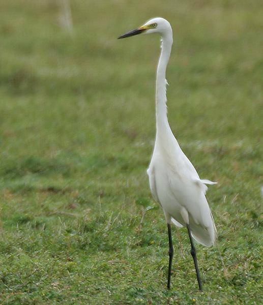 Intermediate egret land photos