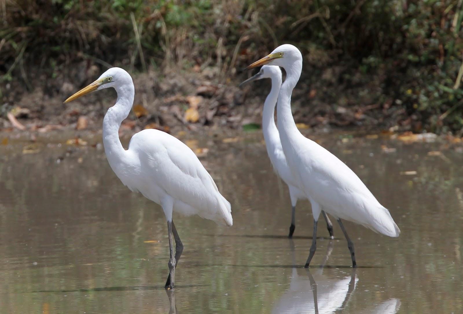 Intermediate egret pair photos