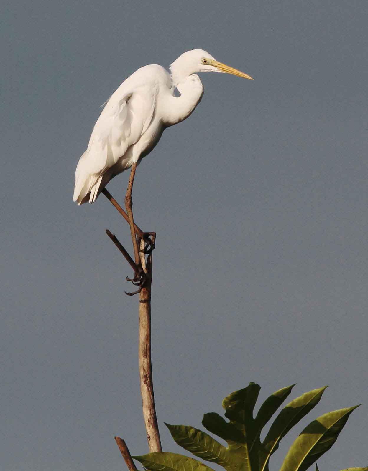 Intermediate egret photos