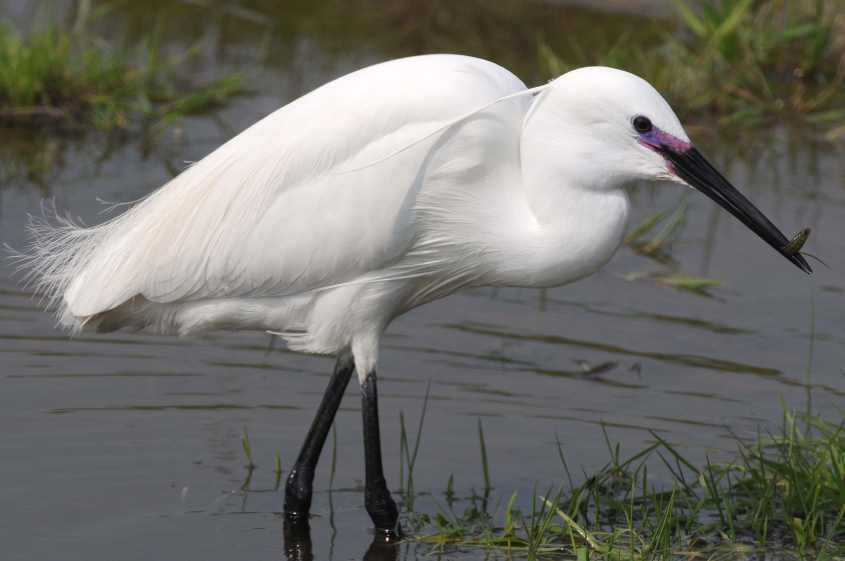 Little egret eating photos