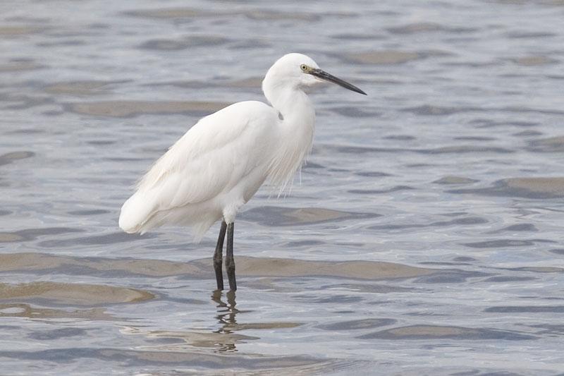 Little egret female photos