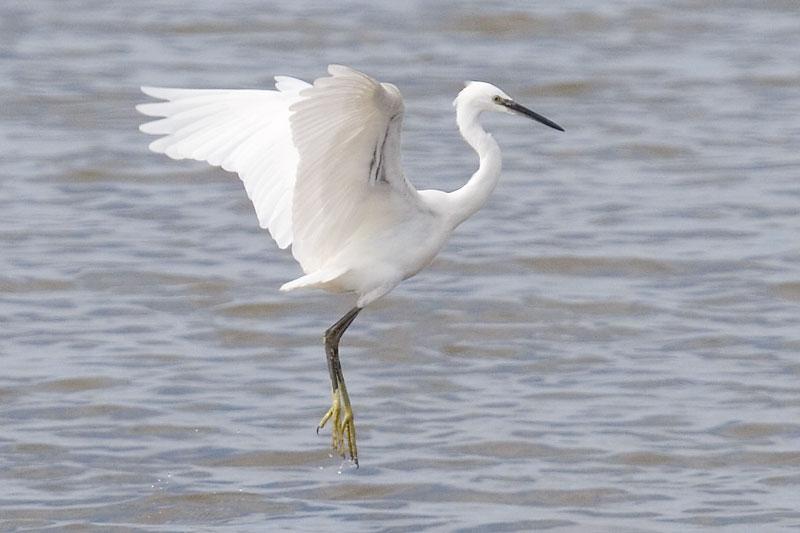 Little egret flight photos