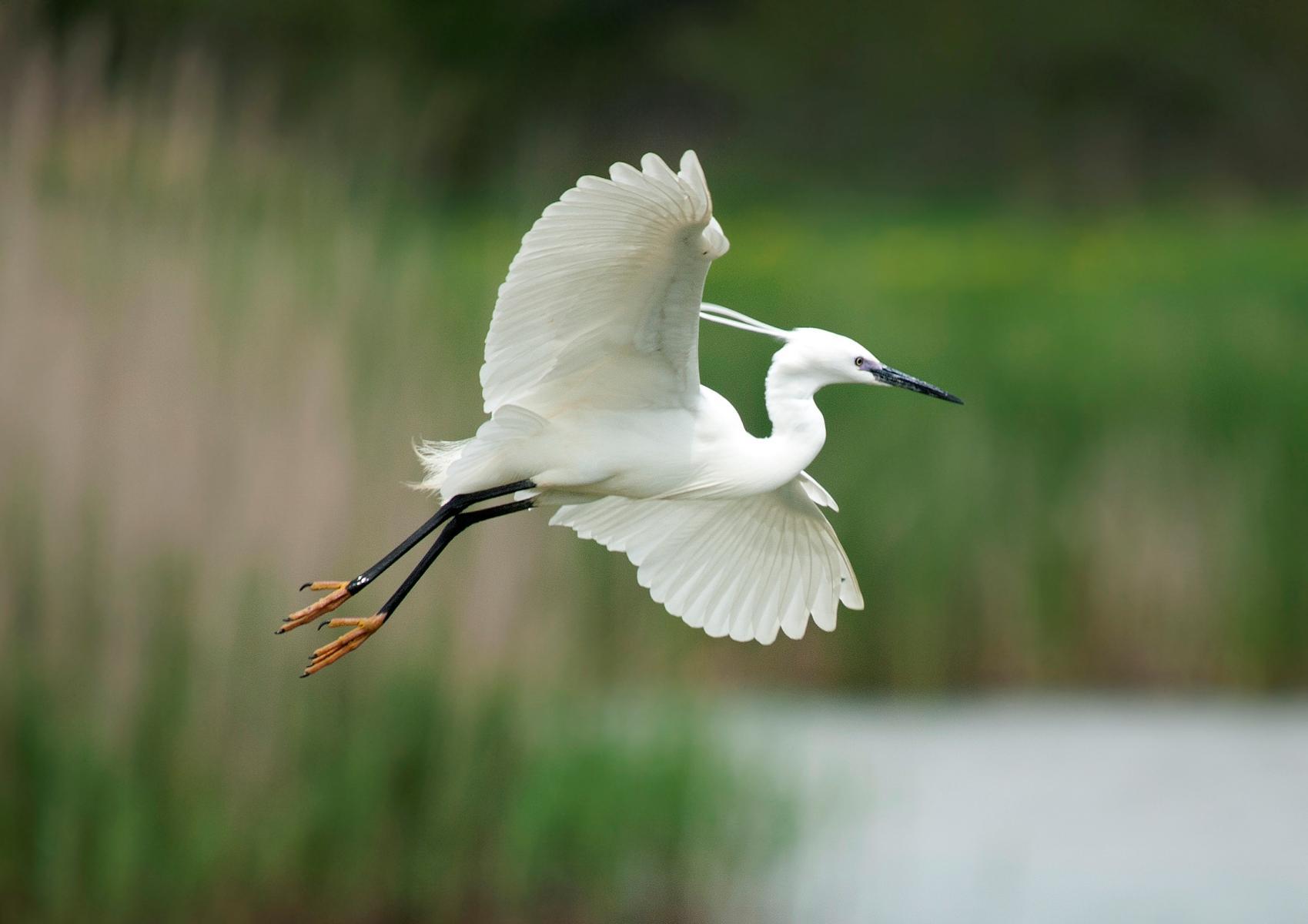 Little egret flying pictures
