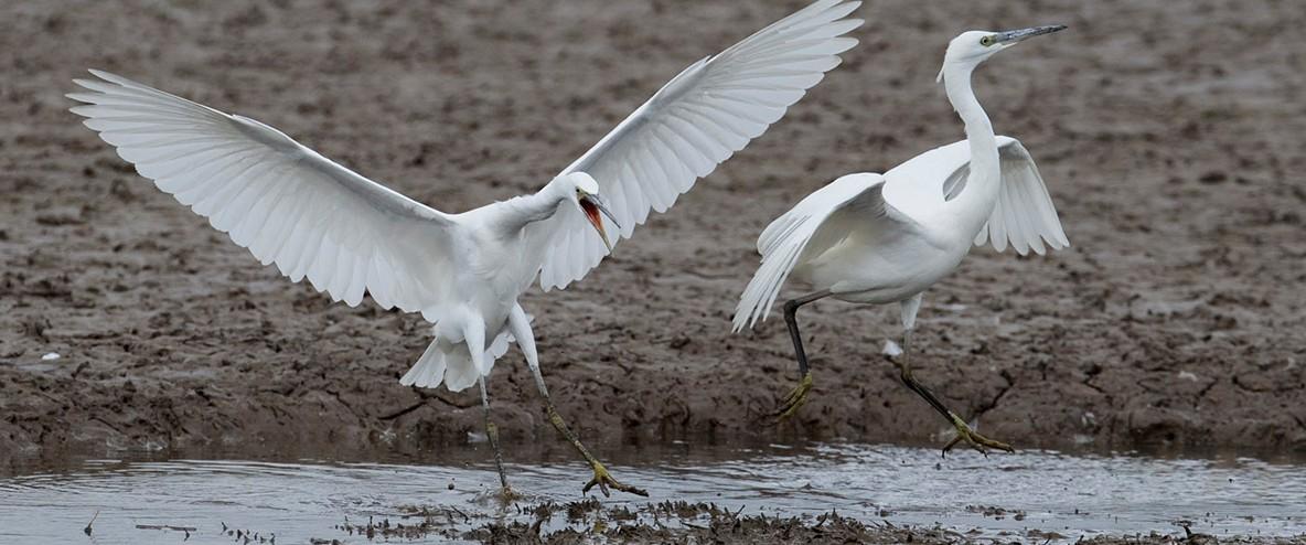 Little egret pair photos