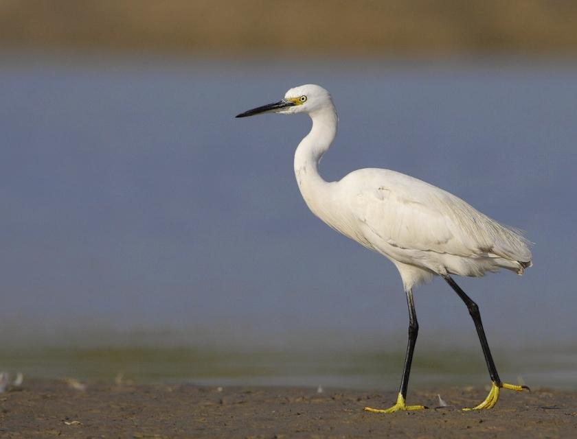 Little egret photos
